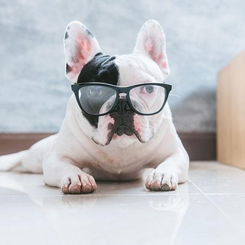 Perro en Gafas Bulldog