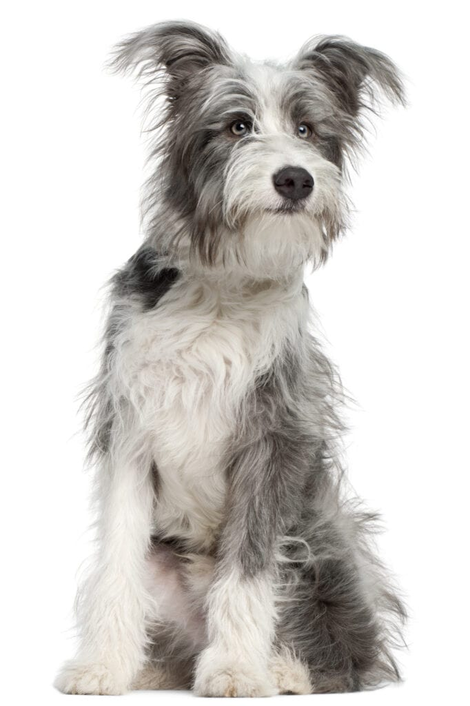wire terrier wb